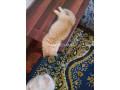 persian-female-kitten-small-1