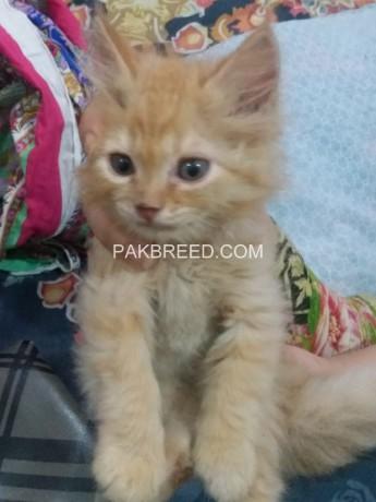 persian-female-kitten-big-3