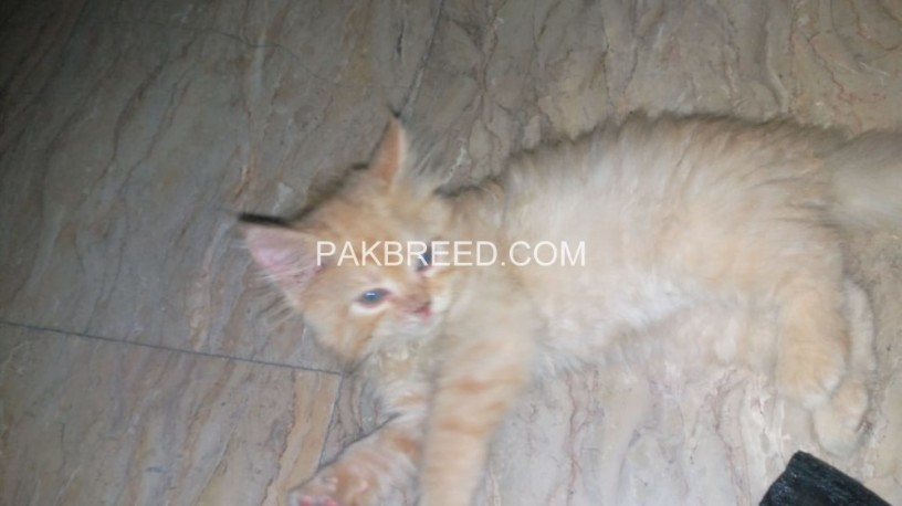 persian-female-kitten-big-2