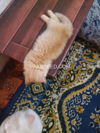 persian-female-kitten-big-1