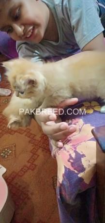 persian-female-kitten-big-4