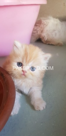 pure-persian-kittens-for-sale-big-2
