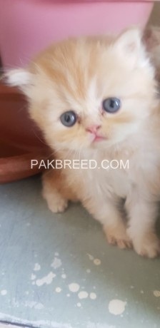 pure-persian-kittens-for-sale-big-3