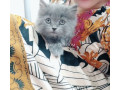 pure-persian-kittens-for-sale-small-0