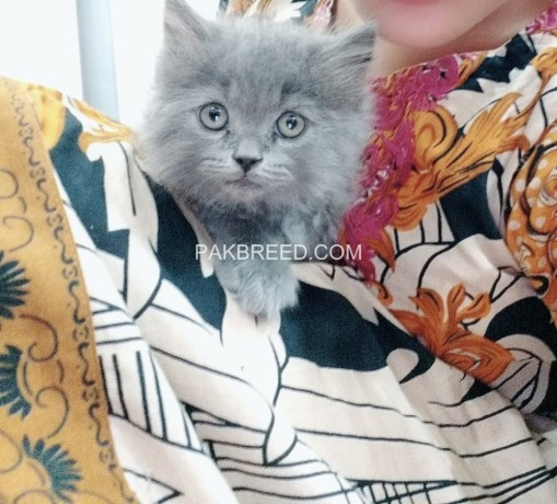 pure-persian-kittens-for-sale-big-0