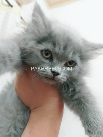 pure-persian-kittens-for-sale-big-1