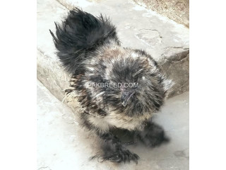 Silver silkie male for sale