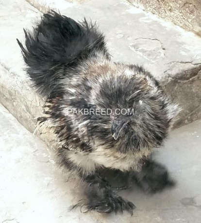 silver-silkie-male-for-sale-big-0