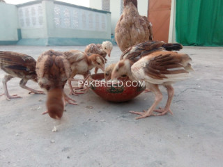 Aseel chicks and hen