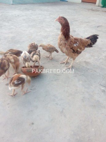 aseel-chicks-and-hen-big-1