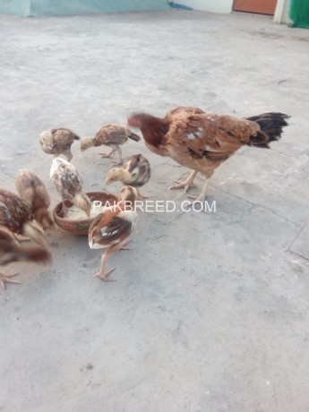 aseel-chicks-and-hen-big-2