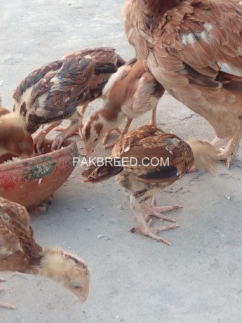 aseel-chicks-and-hen-big-3