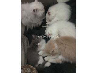 Persian cat baby sale