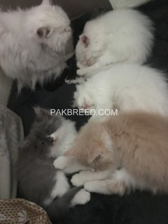 persian-cat-baby-sale-big-0