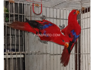 Red Lory Ready To Breed Pair Male with DNA female without DNA