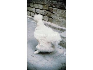 White silkie breeder females