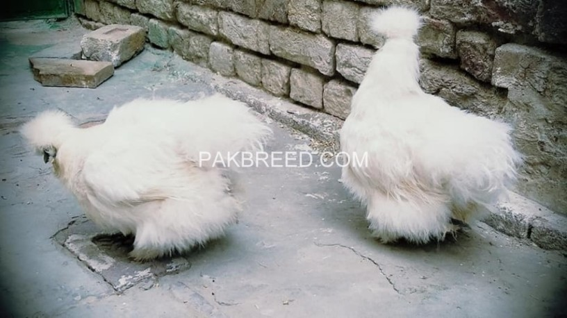 white-silkie-breeder-females-big-1