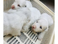 russian-samoyed-female-with-puppies-small-1