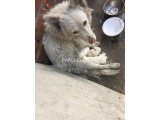 Russian samoyed female with puppies