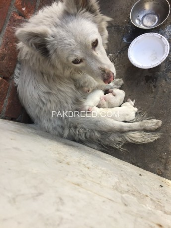 russian-samoyed-female-with-puppies-big-0