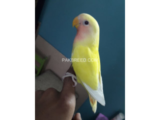 Handtamed lutino red eye very friendly and playful