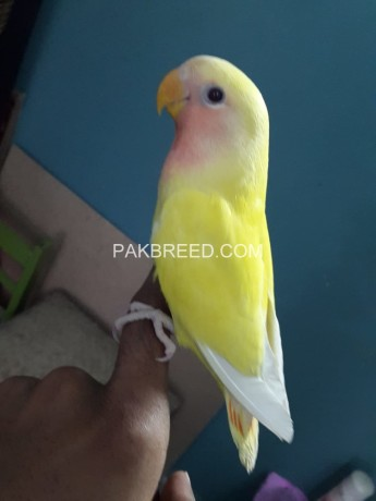handtamed-lutino-red-eye-very-friendly-and-playful-big-0