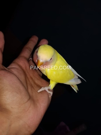 handtamed-lutino-red-eye-very-friendly-and-playful-big-1
