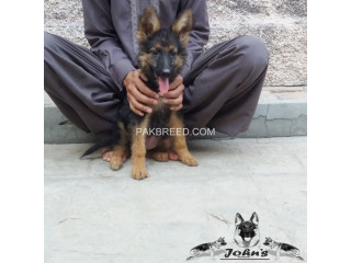 Double coated German shepherd