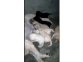 pedigree-labrador-pups-available-small-3