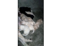 pedigree-labrador-pups-available-small-0