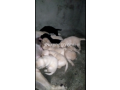 pedigree-labrador-pups-available-small-2