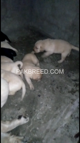 pedigree-labrador-pups-available-big-4
