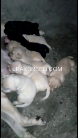 pedigree-labrador-pups-available-big-0