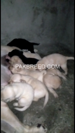 pedigree-labrador-pups-available-big-2