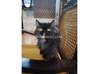 Female ex punch breedr Cat for Exchange