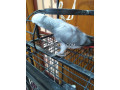 grey-parrot-silver-small-3