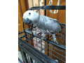 grey-parrot-silver-small-0