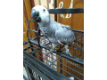 grey-parrot-silver-small-1