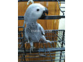 grey-parrot-silver-small-2