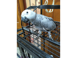 Grey parrot Silver