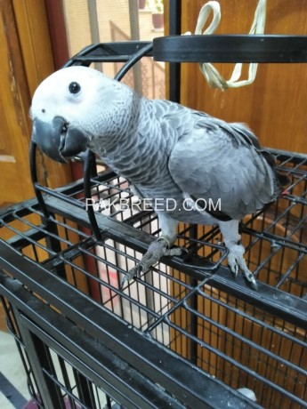grey-parrot-silver-big-0