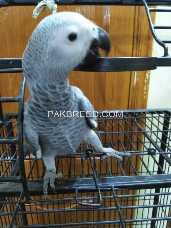 grey-parrot-silver-big-2