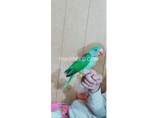 Raw parrot