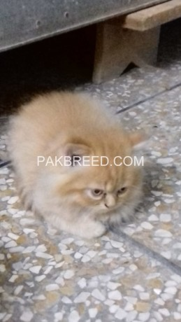 persian-kittens-big-3