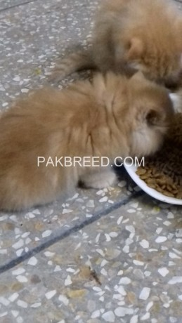 persian-kittens-big-4