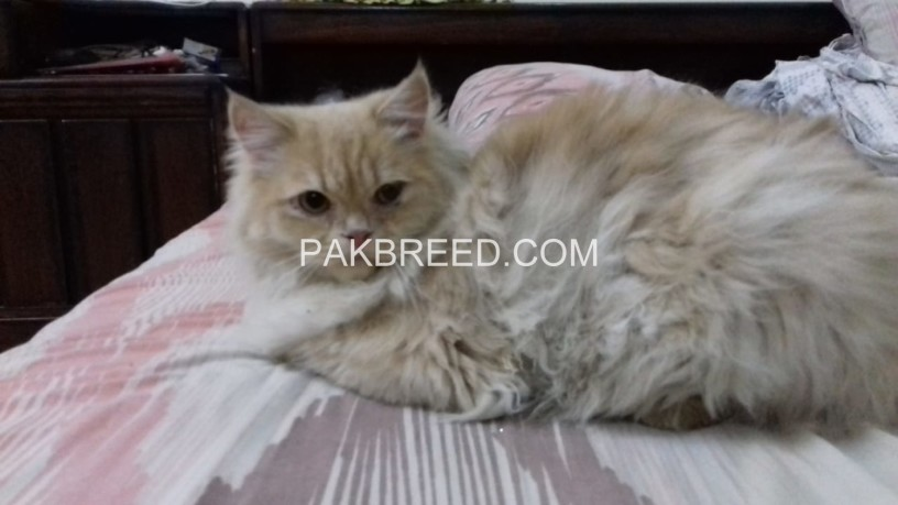 persian-kittens-big-1