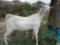 qurbani-ka-janwar-small-0
