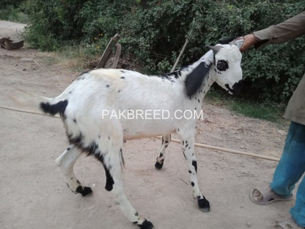 qurbani-ka-janwar-big-0