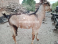top-class-bakray-for-qurbani-small-0
