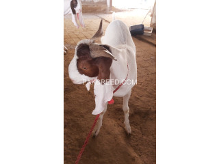 2D Dant Tapra Goats for SALE at AQ Goat Farm